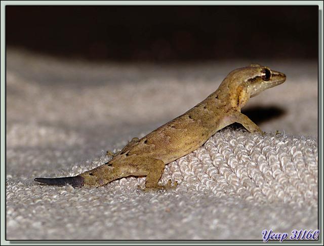 Blog de images-du-pays-des-ours : Images du Pays des Ours (et d'ailleurs ...), Gecko (Lepidodactylus lugubris) visiteur de notre lit! - Isla Bastimentos - Bocas Del Toro - Panama