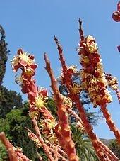 170px-Jubaea chilensis Flores masculinas %28Fundaci%C3%B3n