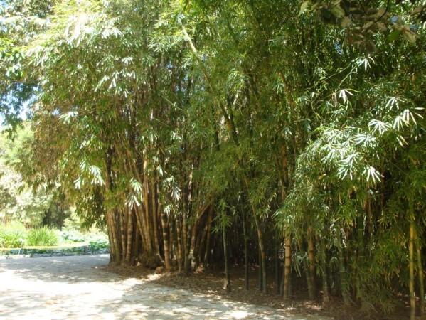 Palerme, Jardin botanique, bambous