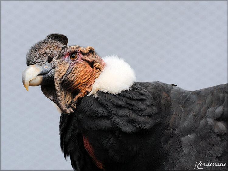 Condor des Andes (Zoo de Doué la Fontaine)
