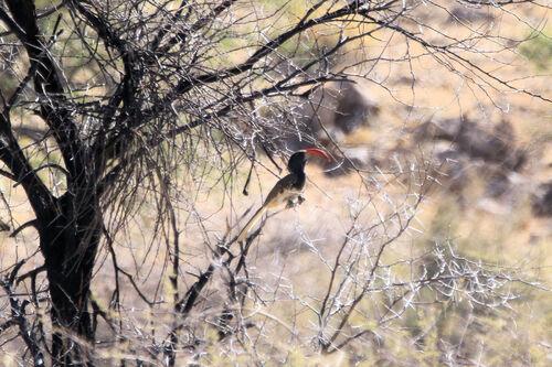 Calao de Monteiro (Monteiro's Hornbill)