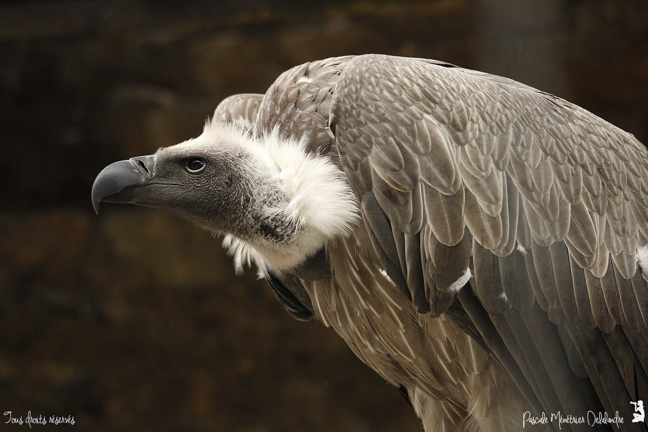 Vautour africain - Gyps africanus - White-backed Vulture