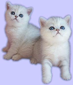chatons blanc