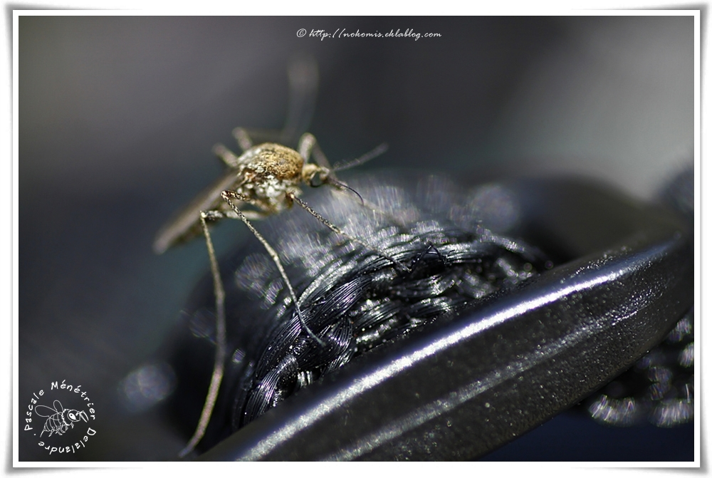 Moustique commun ou Maringouin domestique femelle (Culex pipiens)