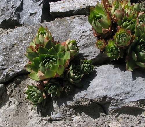 Vertus médicinales des plantes sauvages : Joubarbe