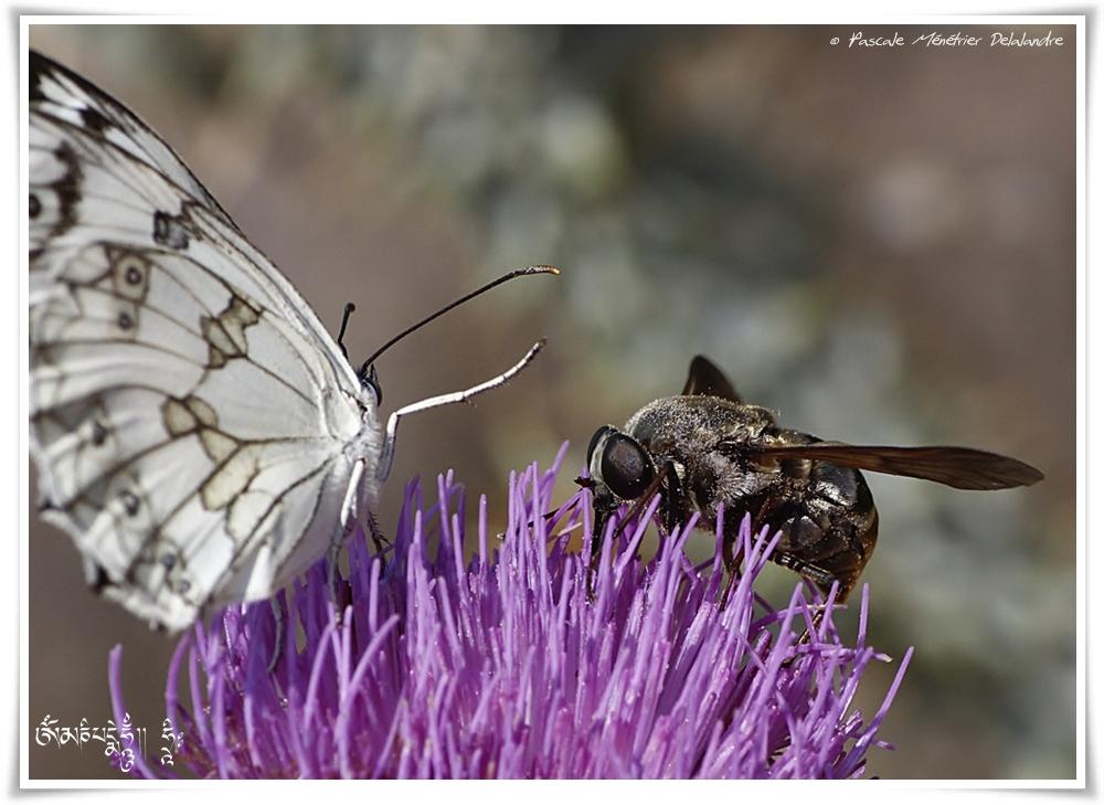 Demi deuil et Taon Pangonius micans ♀ (Diptère tabanidae)