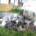 Jooky Dolina Volka avec sa demi-soeur Jemma à 5 semaines