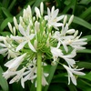 Agapanthe blanche.jpg