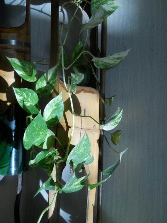 plante grimpante réduite