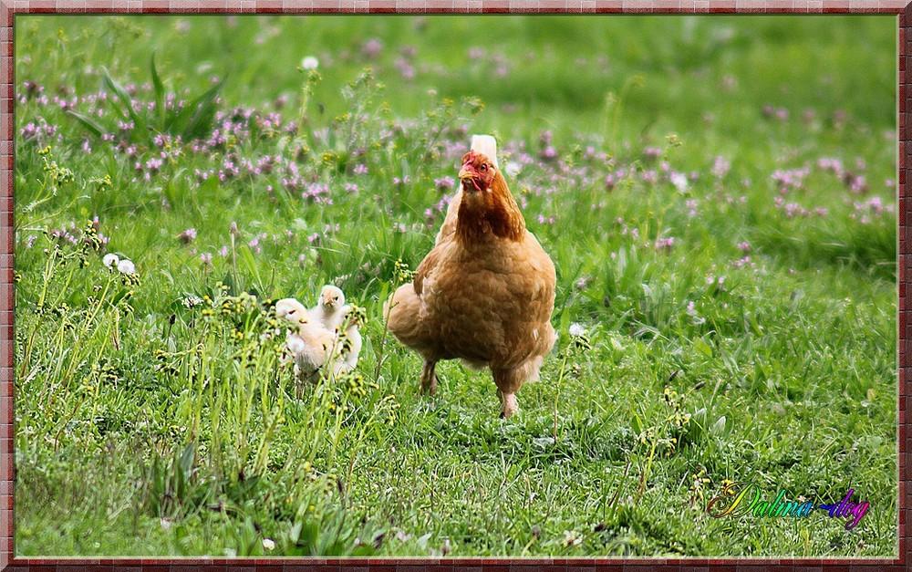 la poule et ses poussins