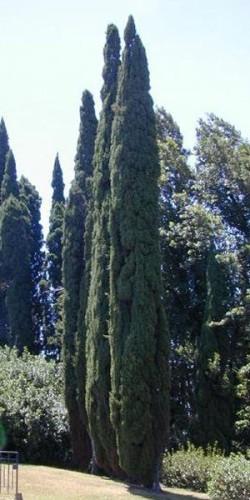 Cupressus florence