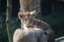 Lionceau d'Afrique // Photo de moi.