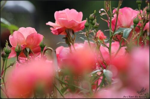 Les roses de juin fleurissent jusqu'à la fin...