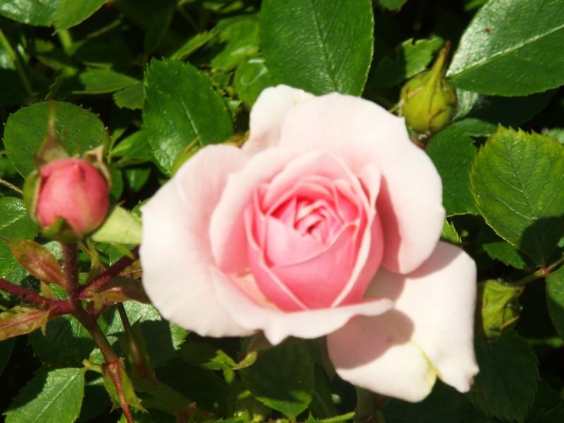 eau de rose ...