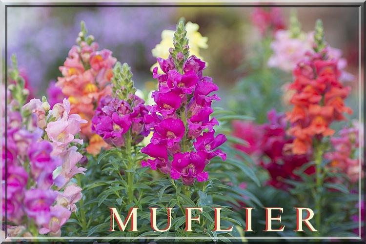 Fleurs cultivées : Muflier