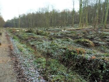 Dans la Forêt d'Eawy - Déforestation avant départ des fûts pour la... Chine