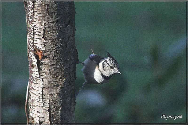 Les mésanges et le conifère : les mésanges huppées