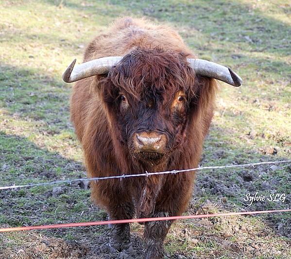 vache (highland)