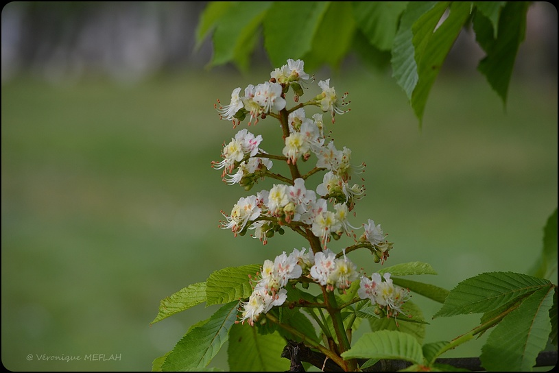 Rambouillet : Fleurs de marronnier