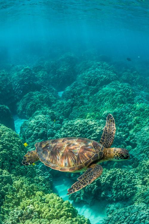 Monde Océanique -  la tortue de mer