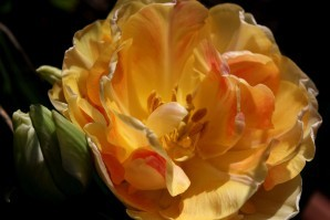 Tulipes Charming Lady3