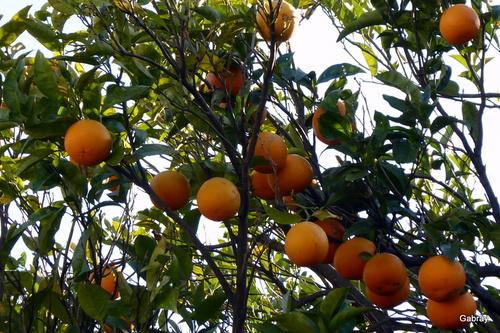 Un oranger avec ses oranges