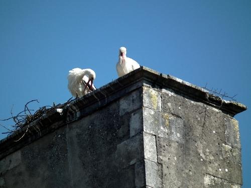 Encore de belles photos des cigognes châtillonnaises..