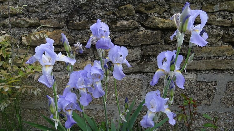 fleurs de mi-mai