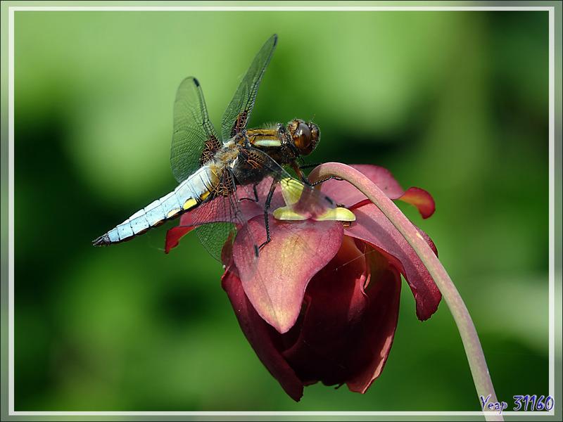 """Libellule Déprimée mâle (Libellula Depressa) sur fleur de plante carnivore """"sarracenia"""" - Lartigau - Milhas - 31"""