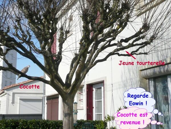 Cocotte, tourterelle rieuse (2)