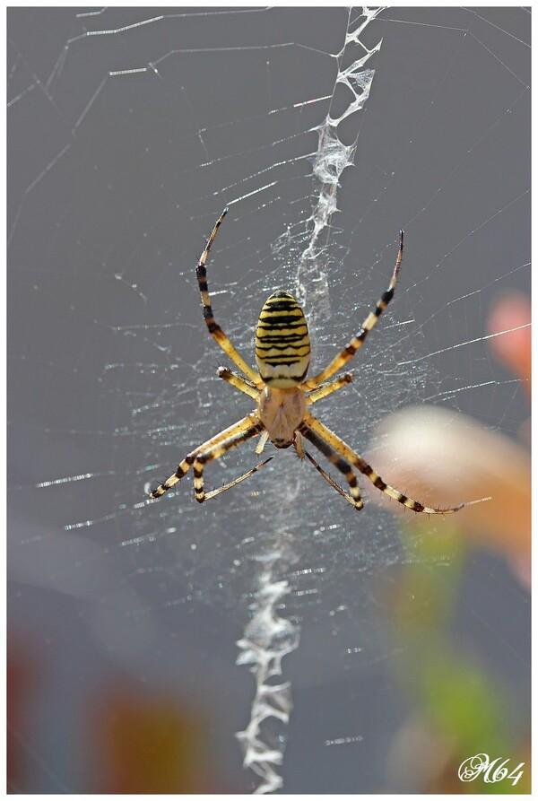 araignée : Argiope 02