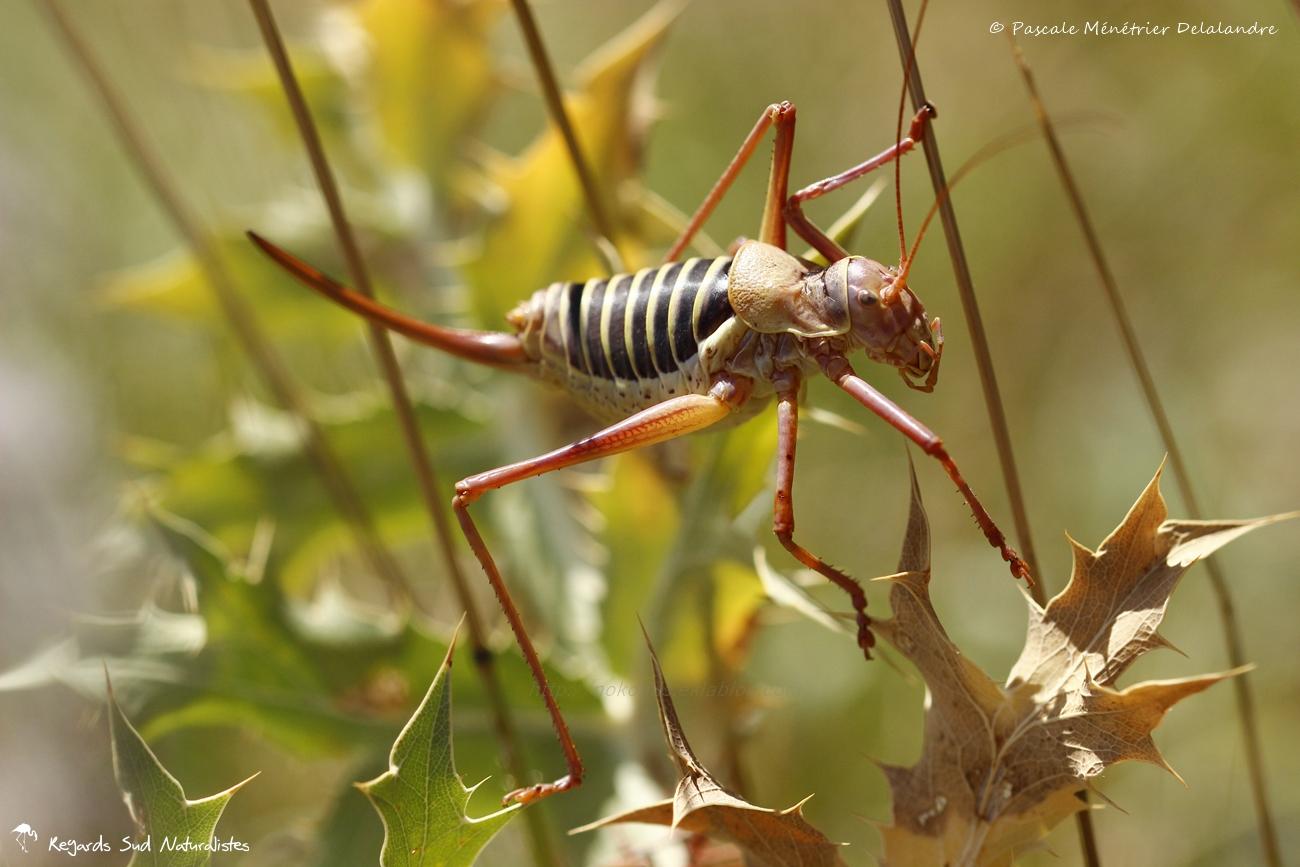 Tettigoniidae ♀