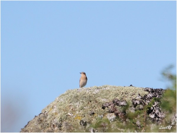 Oiseaux-3-2816-Traquet-Motteux-F.jpg