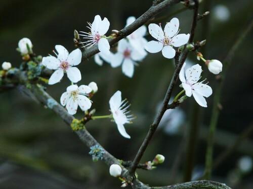 Prunus, Brière