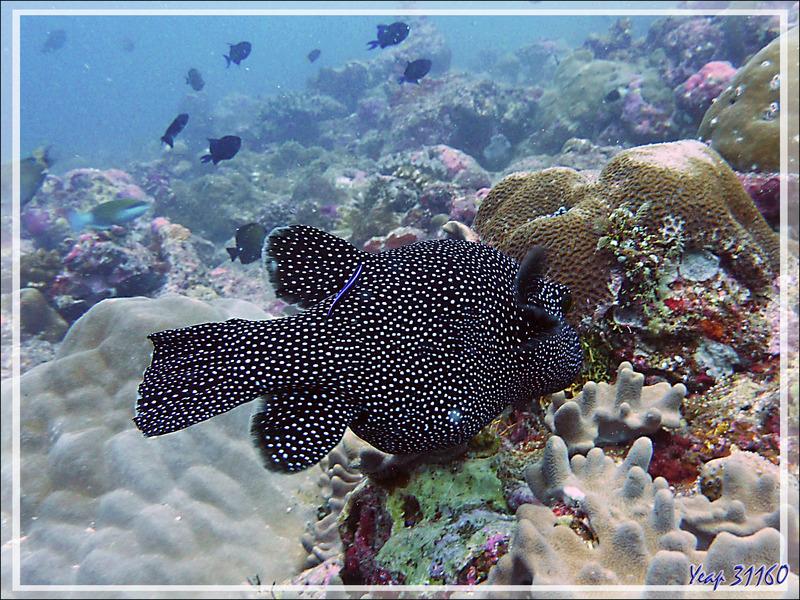 Tétrodon moucheté, Poisson ballon pintade, Poisson ballon moucheté, Guineafowl puffer, White spotted puffer (Arothron meleagris) - Moofushi - Atoll d'Ari - Maldives