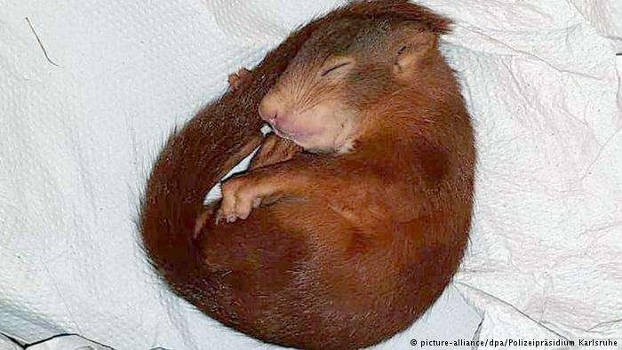 Allemagne: pourchassé par un bébé écureuil, il fait appel à la police