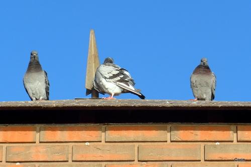 Pigeons perchés ! (n 1)