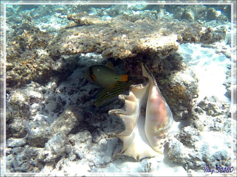Snorkeling : Strombe araignée commun sebae, Ptérocéne géant, Common large spider conch, Seba's spider conch (Lambis truncata sebae) - Moofushi - Atoll d'Ari - Maldives