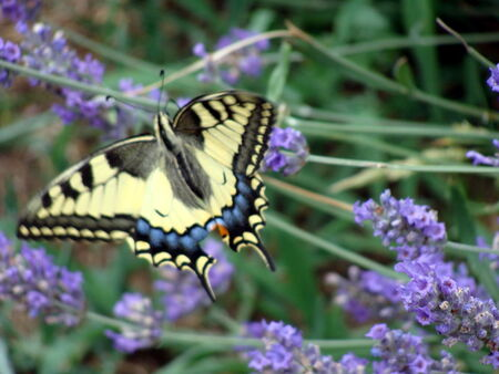 le_Machaon__1_