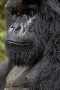 le-gorille-titus-3877464wugdp.jpg