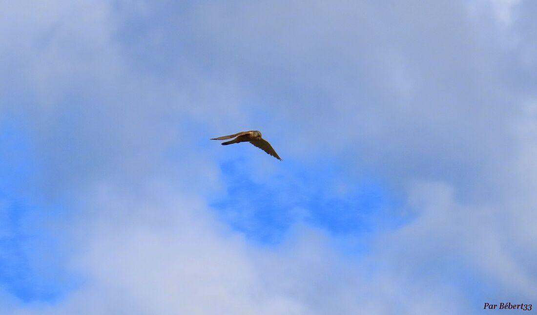 un faucon pélerin