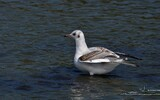 Mouette rieuse - p277