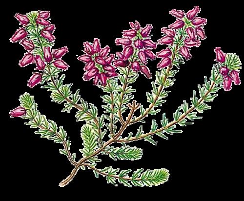 Vertus médicinales des plantes sauvages : Bruyère