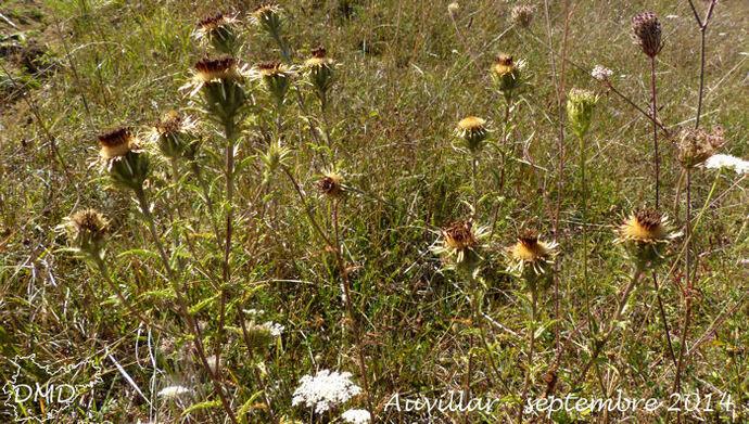 Carlina vulgaris - carline vulgaire - chardon doré