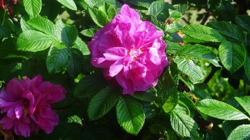 Les roses du square Léon Bourgeois (Suresnes)