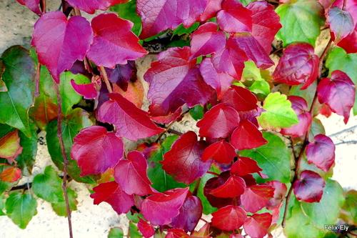 Automne : des feuilles rouges
