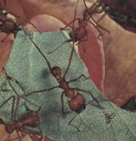 Fourmis champignonnistes au travail