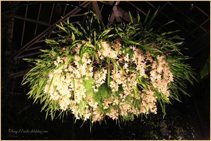 Très beau festival d'orchidées en octobre... ici, en nocturne...