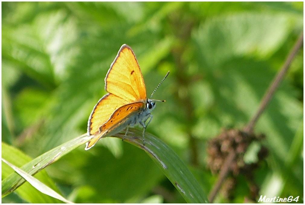 Insecte 05 cuivré des marais P1000593