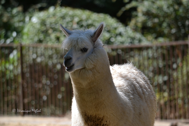 Une nouveauté à la Ménagerie du Jardin des plantes : l'Alpaga
